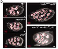 Fig 3. Images of egg chambers stained with DAPI (4',6'-diamidino-2-phenylindole) from indicated genotypes. Red stars mark individual nurse cell nuclei.