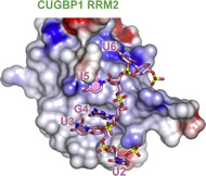 Crystal structure of CUGBP1 tandem RRM1/2 domains bound to 12-13 nucleotide RNAs.