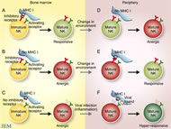 Fig 1. Education and re-education of NK cells.