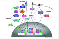 Fig 4. Molecular control of TGF-beta-induced Treg cell differentiation.