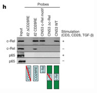 Fig 1h. Binding of NF-κB family member c-Rel but not p65 to the CD28RE-like element at CNS3.