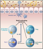Fig 3. Integration of Environmental Cues by Proinflammatory Effector T Cells and Anti-inflammatory Treg Cells in the GutCytokine microenvironment impacted by the gut microbiota promotes Stat3 phosphorylation, which in turn induces differentiation of activated T cells into Th17 effector cells.