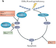 Fig 4. The MRE11 complex in human disease and mouse models. (b) The MRE11 complex has multiple roles in activating apoptosis after double-strand break (DSB) exposure.