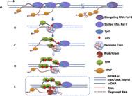 Fig S8. Working Model for RNA Exosome-Dependent AID Activity on Transcribed Duplex DNA Substrates.