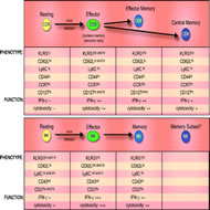 Fig 2. Comparison of CD8+ T cell and NK cell differentiation and memory generation following viral infection.