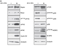 Fig 1a. Western blot analysis of protein isolated from vehicle- or Shh-treated CGNP primary cultures.