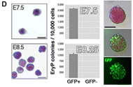 Fig 1. (D) Cells from whole E7.5 or E8.5 embryos were FACS sorted to GFP(+) and GFP(−) populations. Left panel, Giemsa-stained cytospun cells from FACS sort. Scale bar, 20 μm. EryP-progenitor numbers were measured using a clonogenic assay. Virtually all progenitor activity was recovered in the GFP(+) population. Characteristic EryP colonies (right panels) showed red pigmentation (hemoglobin) and GFP fluorescence. Scale bar, 50 μm.