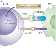 Fig 1a. T cell activation begins with interaction of the T cell receptor (TCR) on a T cell with major histocompatibility complex (MHC) bound to antigen on an antigen-presenting cell (APC).