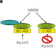 Fig 2e. Proposed Hsp90 species in K562 cells, in complex with both aberrant, Bcr-Abl, and normal, c-Abl, proteins. PU-H71, but not H9010, selects for the Hsp90 population that is Bcr-Abl oncoprotein bound.