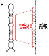 Fig 1a. Predicted secondary structure of w-miR and its predicted interaction with the target sequence in the white 3′ UTR. The predicted mature strand is indicated in red.