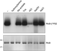 Fig 10. Chemical stability of the RtcB-[32P]guanylate adduct.