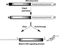 Fig 10.1. Multiple processing events generate the mature Shh signaling protein.