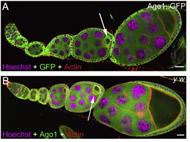 Fig 1. Ago1 distribution in Drosophila egg chambers.