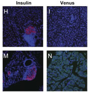 Fig 1. Gli transcriptional activation is dispensable for pancreatic development.