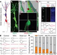 Fig 1. Gap-junction-mediated electrical coupling between sister excitatory neurons in neonatal neocortical ontogenetic columns.