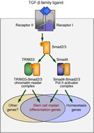 Fig 2. Complementary branches of the TGF-β/Smad pathway in embryonic stem cells.