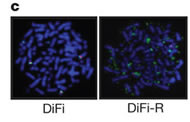 Fig 1c. Fluorescent in situ hybridization (FISH) analysis confirming KRAS amplification in resistant (DiFi-R) but not parental DiFi cells.
