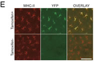 Fig 1e. Immunofluorescence of epidermal whole mounts stained for YFP (green) and MHC-II (red) from untreated and tamoxifen-treated YFP mice. (Scale bar, 30 μm.)