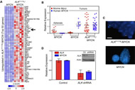 Figure 5. ALKF1174L Induces Expression of Endogenous Murine MYCN (A) Heat map representing the top 50 upregulated genes (corrected p value < 0.05, fold change ≥ 2.0) in ALKF1174L/MYCN tumors compared with MYCN tumors.