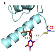 Fig 3. HOXB1 Protein Structure, Conservation, and Molecular Modeling. (E) The sulfur atom of mutant Arg5Cys residue (red C5) of the HOXB1 homeodomain would interact with the oxygen atom of T11 base of the DNA via one hydrogen bond at 6.0Å.