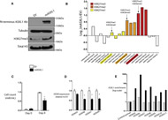 Figure 4. Expression of ASXL1 in ASXL1-Null Leukemic Cells Results in Global Increase in H3K27me2/3.