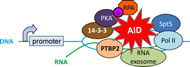 Fig. 2. Proteins interacting with AID at S regions during CSR.
