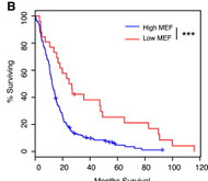 Fig 1. MEF in Human and Mouse Gliomas. (B) Kaplan Meier survival curves of TCGA GBM patients: low level of MEF (calculated as less than one standard deviation from the mean of diploid tumors) significantly correlates with better overall survival (∗∗∗log-rank p value, p = 0.000386).