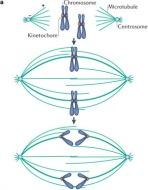 Fig 1a. Schematic of chromosome segregation.