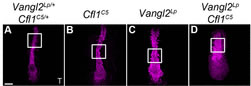 Fig 2.Cfl1C5 enhances the convergent extension defect in the Vangl2Lp notochord. (A-D) Projections of flat-mounted E8.0 embryos stained for brachyury (T) (magenta).
