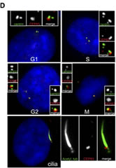 Fig 1.Identification of novel DAP proteins.(D) Subcellular distribution of CEP83. RPE-1 cells stably expressing GFP-centrin 2 (green) were stained with an antibody to CEP83 (red) and DAPI (blue).