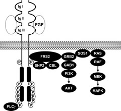 Fig 3. Signaling pathways mediated by FGFR3. FGF ligand binding to FGFR3 results in autophosphorylation of the receptor and activation of multiple downstream signaling pathways.