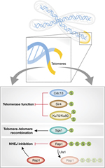 Fig 1. Roles of sumoylated telomere proteins in Saccharomyces cerevisiae.