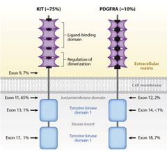 Fig. 1. Schematic structures of KIT and PDGFR.
