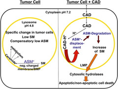 Fig 1. Mechanism of CAD Effect on LMPLeft: tumor cell lysosomes contain lower SM levels than normal cell lysosomes and a compensatory lower ASM activity.Right: CADs functionally inhibit ASM by physico-chemical mechanisms.