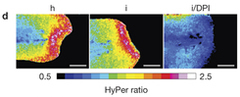 Fig 1. Hypotonicity is required for rapid leukocyte recruitment to larval zebrafish tail fin wounds. d) HyPer imaging of wound margin H2O2 production in response to wounding in hypotonic medium (h), isotonic medium (i) or isotonic medium + 100μM of the NADPH oxidase inhibitor diphenyliodonium chloride (i/DPI).
