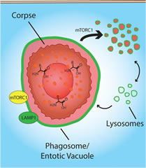 Fig 5. Model for phagosome and entotic vacuole fission.