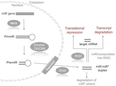 Fig 1.MicroRNA processing pathway.