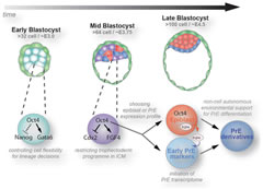 Fig 6. Model of Oct4 functions during preimplantation development.