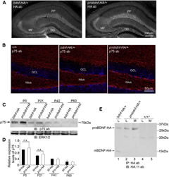 Detection of proBDNF-HA and p75NTR and Secretion of proBDNF from Hippocampal Neurons of probdnf-HA/+ Mice.