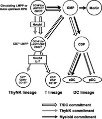 Fig 7. Proposed model for differentiation pathways and commitments of cDC, pDC, T cell, and thymic NK cell lineages.