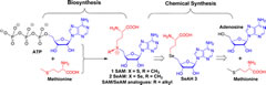 Fig 1. Biosynthesis of SAM and retrosynthesis of SAM, SeAM, and their chalcogen–alkyl analogues.