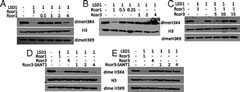 Fig 2. Nucleosomal demethylation by LSD1 and Rcor proteins.
