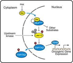 Model Illustrating the Mechanism by which CRL4DCAF1 Promotes Oncogenesis