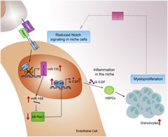 Fig 1. Proposed Model for Notch-Mediated Contributions to Myeloid Disease Pathogenesis