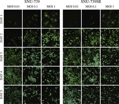 GLV-1h68 infection of parental hepatocellular carcinoma (HCC) and sorafenib-resistant HCC cell lines shows similar time- and concentration-dependent infection in vitro.