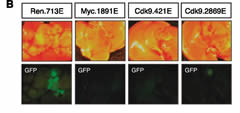 Fig 7b. CDK9 is required for initiation and maintenance of MYC-overexpressing liver tumors. Representative bright-field and fluorescent images of the livers in A. Tumors are positive for GFP.