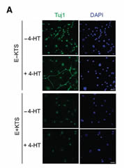 Fig 6a. E−KTS induces partial neural reprogramming. A, E−KTS and E+KTS MEFs cultured with or without 1 μmol/L 4-HT were cultured for 10 days in N2-containing media. Cells were immunostained with Tuj1 antibody and DAPI; scale bar, 20 μm.