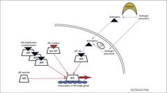 Fig 1. Molecular mechanism of androgen receptor (AR) signaling in castrate-resistant prostate cancer.