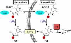 Fig 1. PC-[18F]FLT-1, a PET radiotracer designed to exhibit a H2O2-dependent cellular accumulation of [18F]FLT.