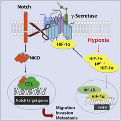 Graphical abstract: Here, we show that hypoxia upregulates γ-secretase activity through a direct interaction with Hif-1α, revealing an unconventional function for Hif-1α as an enzyme subunit, which is distinct from its canonical role as a transcription factor. Moreover, hypoxia-induced cell invasion and metastasis are alleviated by either γ-secretase inhibitors or a dominant-negative Notch coactivator, indicating that γ-secretase/Notch signaling plays an essential role in controlling these cellular processes.